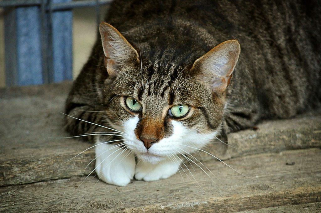 10 races de chats idéales en appartement